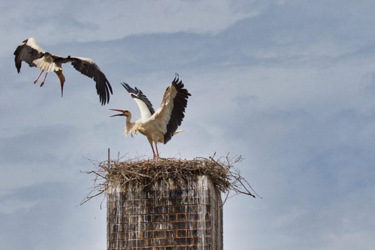 Angriff durch einen fremden Storch